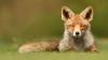 VIDEO VIRAL! O vulpe mulțumește într-un mod inedit îngrijitorului său pentru hrană (VIDEO)