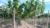 Copacul minunii sau al minciunii? Afacerea cu arbori care a stârnit ZARVĂ între academicieni și fermieri