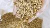 Fermierii ATENŢIONEAZĂ! Recolta de grâu din acest an va scădea SIMŢITOR