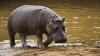Imagini VIRALE! Cum au fost surprinși doi hipopotami și un pui de rață (VIDEO)