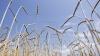 RISC DE FALIMENT pentru fermieri. Lipsa precipitaţiilor pun în PERICOL roada