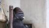 Greu de CREZUT! O gorilă a fost desemnată sex-simbol în Japonia. Care este motivul