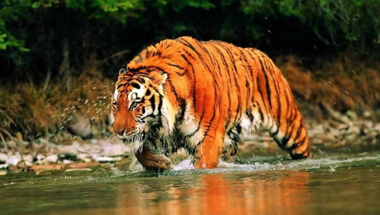 Incredibil Ce A Făcut Un Tigru Siberian Când S A Apropiat
