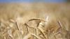 Specialiştii AVERTIZEAZĂ! Ce se va întâmpla în acest an cu recolta de grâu şi floarea soarelui