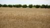 Agricultorii, neputincioși în fața naturii! Seceta taie în jumătate recolta de grâu şi orz