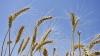 VEŞTI PROASTE. Ministerul Agriculturii a anunţat rezultatele preliminare ale secerişului