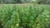 """Cultivatori """"inocenţi"""" de plante care produc imediat fericirea. Poliţia a identificat câţiva"""