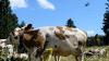 Soluţie pe timp de caniculă. Militarii elveţieni adapă vacile cu elicopterul