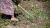 Moldova se coace la propriu. Recolta unor săteni este compromisă din cauza lipsei ploilor (VIDEO)