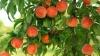 Recolta bogată de piersici din acest an scade din preţul fructelor