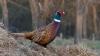 Pregătiri de vânătoare. Peste 20 de mii de fazani, aduși din Ungaria pentru a-și găsi adăpost în țara noastră