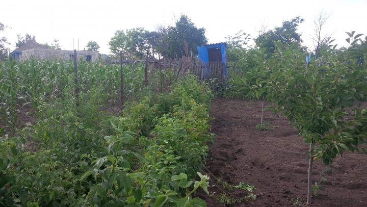 Cânepă în grădina unui bărbat din raionul Ungheni. Poliţia îi pregăteşte un dosar penal
