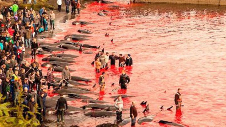Apa mării a devenit roşie! Tradiţia sângeroasă de sacrificare a delfinilor în Insulele Feroe (VIDEO)