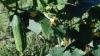 Recolta de castraveţi este afectată de secetă. Producătorii majorează preţurile