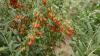 AFACERE INEDITĂ în raionul Ungheni. Ce a plantat o femeie în propria grădină