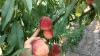 Ce spun reprezentanţii unei companii din Găgăuzia despre faptul că Rusia a anulat embargoul la fructe