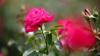 Pasiunea pentru flori o poate costa scump. Cum a fost surprinsă o tânără din Capitală (VIDEO)