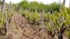 PLANTAŢII AFECTATE DE MUCEGAI! Podgoriile Moldovei suferă din cauza ploilor şi temperaturilor înalte din ultimele săptămâni