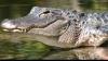 Au vrut să aresteze un traficant de droguri, dar AU FOST ATACAŢI de un aligator. Cum s-a petrecut totul