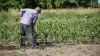 PROGNOZE SUMBRE: Seceta ar putea afecta grav culturile de toamnă şi cereale de anul viitor