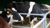 Seceta generează deficit de nutreţuri pentru animale. Preţurile la carne se aşteaptă să explodeze