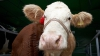 Le-au stricat afacerea! Intenţiile a doi tineri din Orhei care transportau o vacă într-un Mercedes