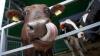 Universitatea Agrară caută vaci de rasă! Care sunt planurile grandioase ale instituţiei