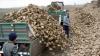 PIERDERI DE MILIOANE DE LEI. Producătorii de sfeclă de zahăr au suferit, în acest an, pagube enorme