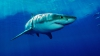 GEST IMPRESIONANT! Cum au recţionat oamenii când au văzut un rechin alb eşuat pe litoral (VIDEO)
