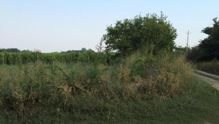 Seceta nu a afectat culturile ilegale! Ce au descoperit poliţiştii pe două lanuri (FOTO)