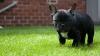 NO COMMENT! Reacţia unui bulldog francez atunci când vede doi urşi în curte (VIDEO)