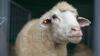O turmă de oi a creat HAOS într-un oraş din Spania. Ce s-a întâmplat (VIDEO)