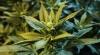 Captură IMPRESIONANTĂ de marijuana. Ce au descoperit polițiștii la percheziții