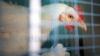 De râsul găinilor. Un restaurant a angajat o pasăre care a devenit VEDETĂ (VIDEO)