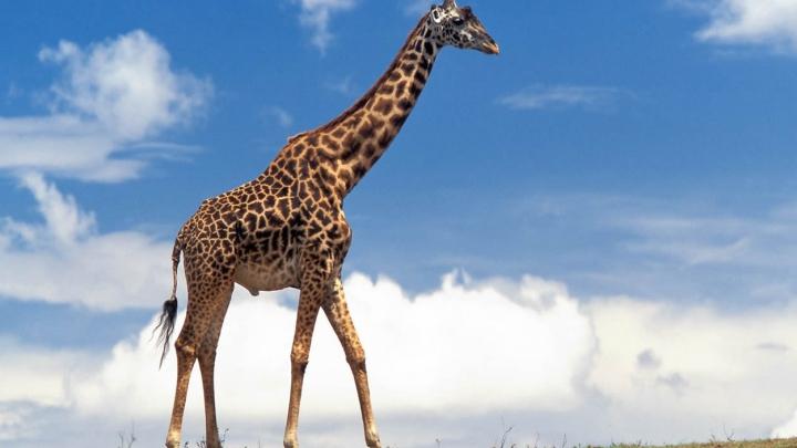 MISTER DESCOPERIT! Cum a ajuns girafa să aibă gâtul lung