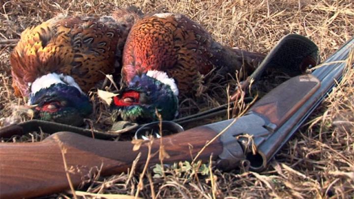 A fost dat startul vânătorii de fazani. La Coloniţa, gloanţele au luat viaţa a cinci păsări