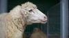 """INCREDIBIL! Cum 550 de oi se pot transforma într-o """"turmă invizibilă"""" (FOTO)"""