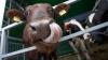 Poveste neobișnuită, în Olanda: O vacă s-a refugiat în pădure de teama abatorului