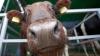 Într-un sat din Sângerei, angajatele de la o fostă fermă de vaci au primit diplome şi cadouri speciale (VIDEO)