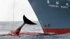 Japonia a devenit ținta criticilor, după ce s-a retras din Comisia privind vânătoarea de balene
