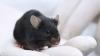 Scenariu de film! Cum i-a ajutat un şoarece pe deţinuţi să transporte droguri în închisoare