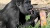 AMUZANT! Cum reacţionează o gorilă atunci când plouă (VIDEO)