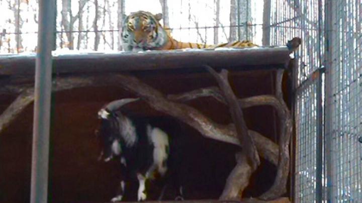 Timur şi Amur au mai petrecut o noapte împreună. Final fericit pentru prietenia dintre un ţap şi un tigru