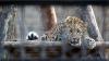 La ZOO din Chişinău a fost adus un leopard de Amur mascul, una dintre cele mai rare specii de feline