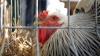 SENZAŢIONAL! Performanţa ieşită din comun a unei găini (VIDEO)