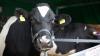Misiune de salvare inedită la Criuleni. O vacă a căzut într-o fântână (VIDEO)