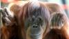 Incredibil! Ce a făcut un urangutan deştept într-o grădină zoologică din Thailanda (VIDEO)