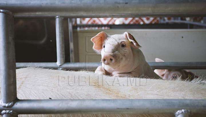 AMUZANT! Cum arată şi ce face un porc cu adevărat fericit (VIDEO VIRAL)