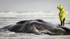 Cinci balene au eșuat pe o insulă olandeză. Salvatorii au ajuns prea târziu (FOTO)