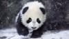Ursul panda care face SENZAŢIE pe Internet! Animalul adoră zăpada şi face rostogoluri în nămeţi (VIDEO)